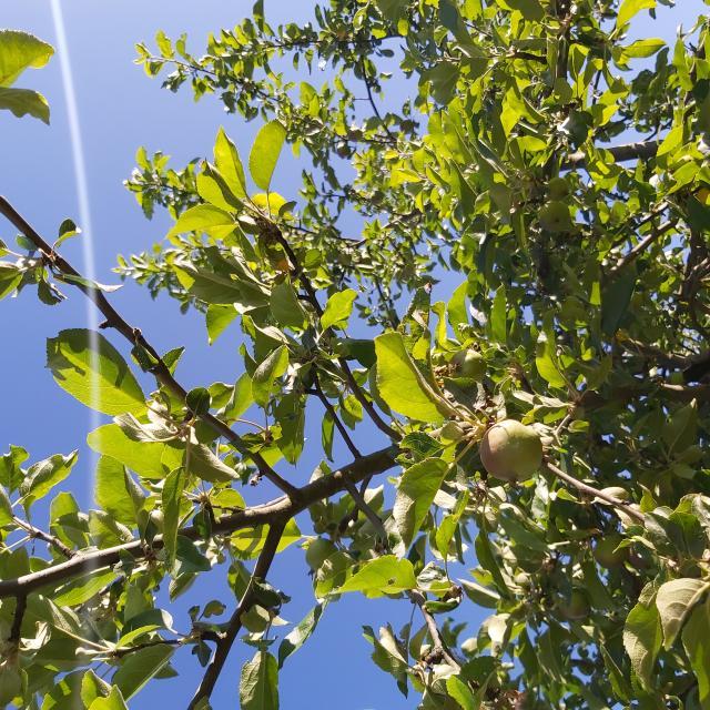 - Apfelbaum