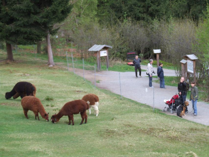 Alpakafamilie auf dem Waldwipfelweg