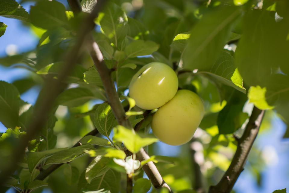 Förderverein Odenwälder Apfel e.V.