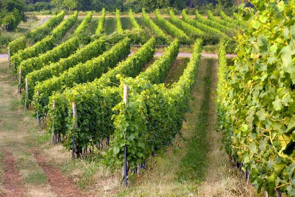 Bergsträßer Weinlagenwanderung Heppenheim-Zwingenberg