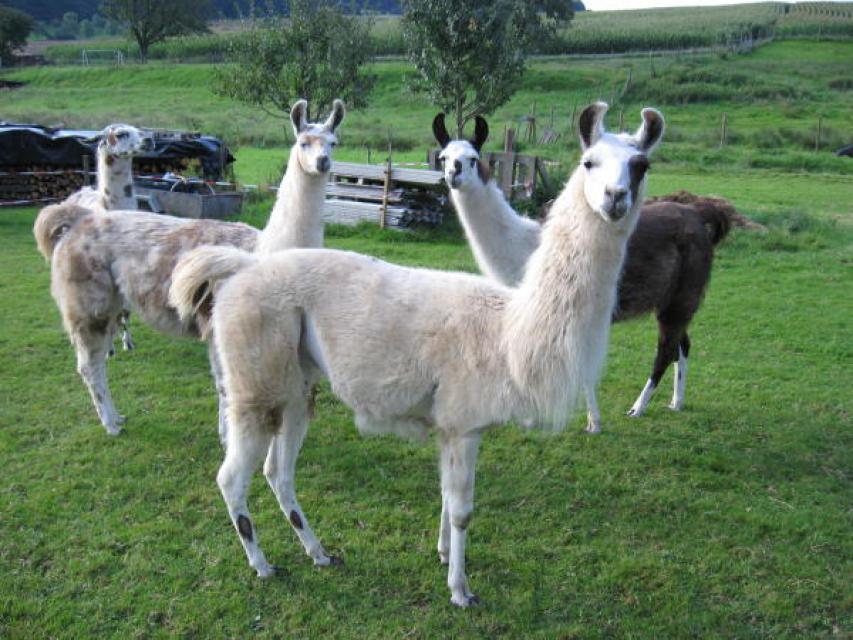 Mit den Odenwald-Lamas die Gegend erkunden