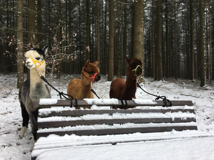 Wanderungen mit Alpakas ab Breitenbrunn
