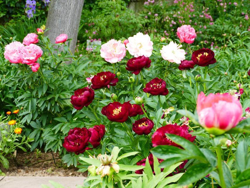 Führung durch den Pfingstrosengarten in Lorsch