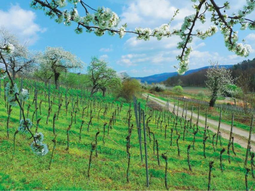 Winzer- und Weinstubentour von Heppenheim nach Zwingenberg