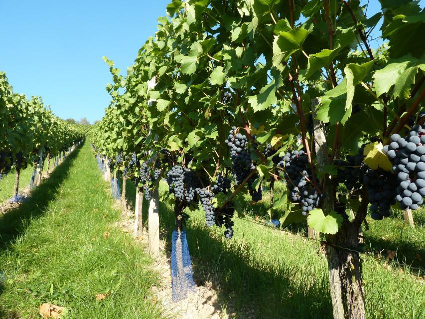 Weinwanderungen mit Weinlehrpfad Tauberzell