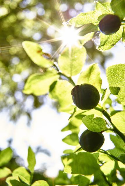 Wildkräuterspaziergang: Beeren- und Wurzelkraft